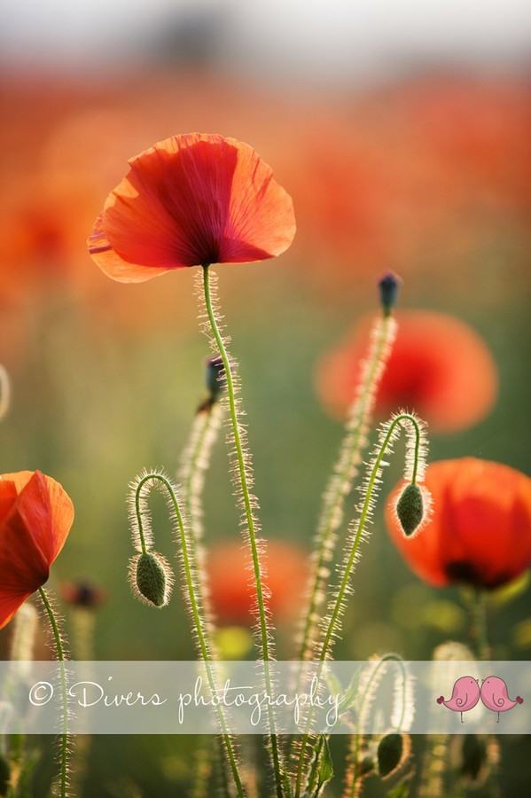 Photographing poppies in the summer sun in Cudworth   John Divers Photography